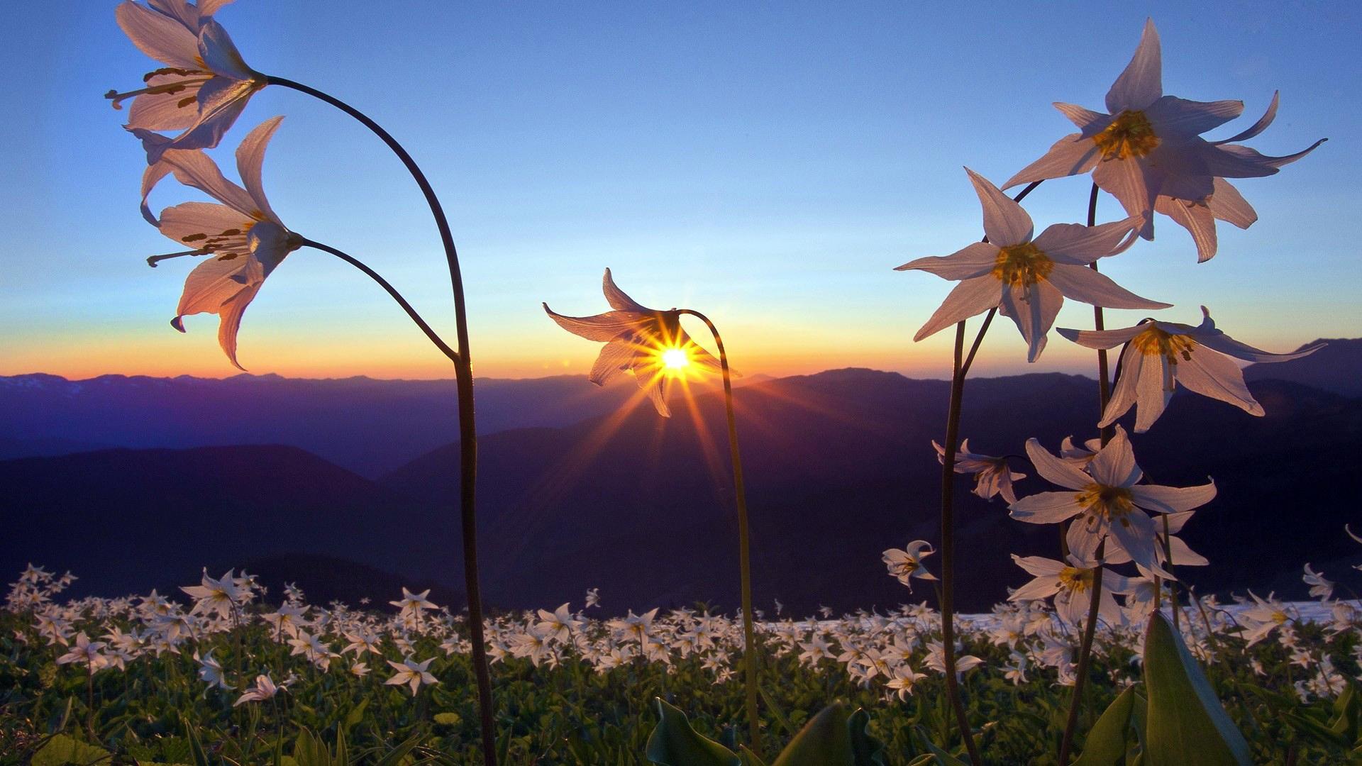 природа цветы трава мельниц восход солнце  № 2556627 загрузить