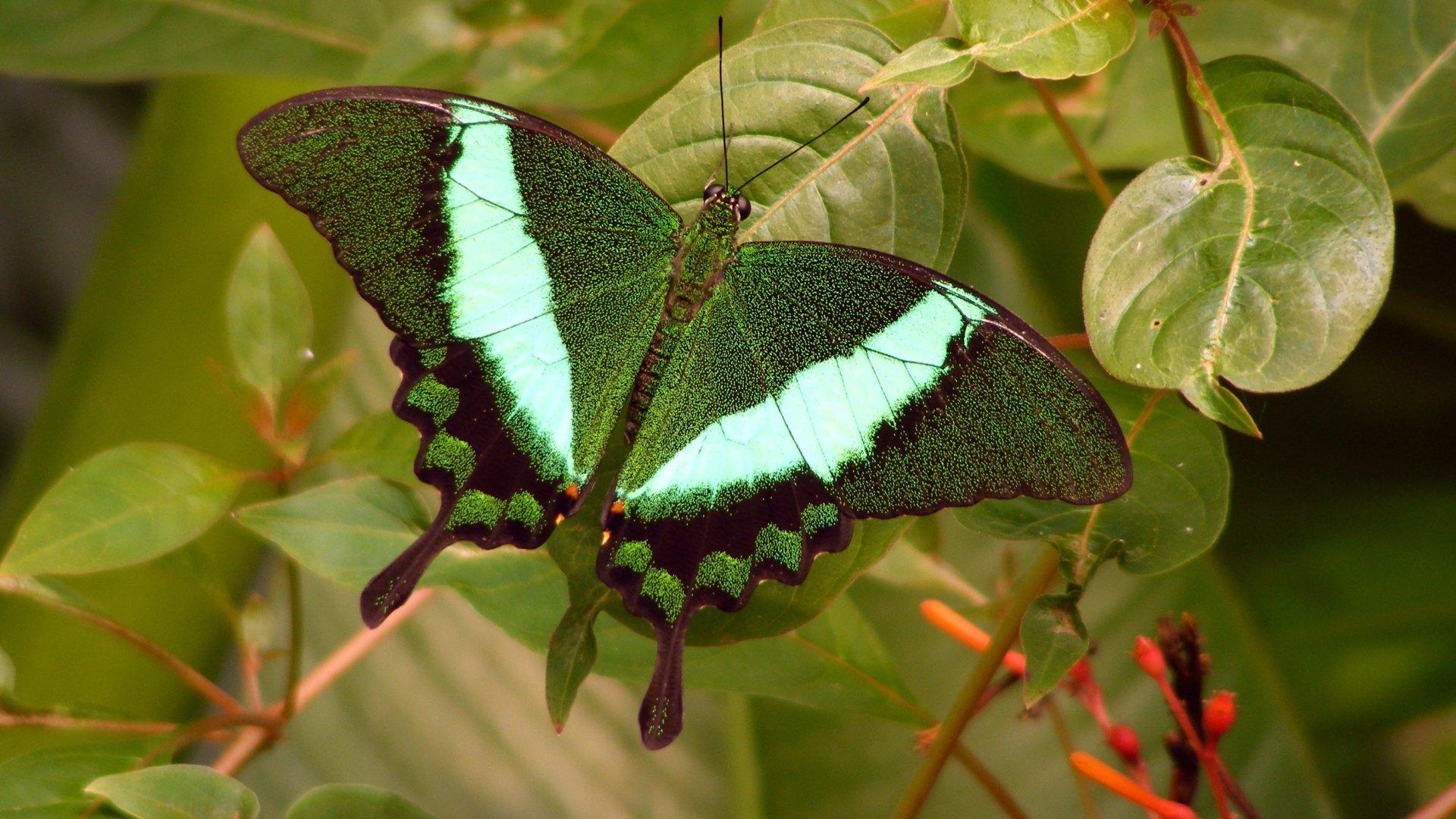 бабочка папоротник  № 3138485  скачать
