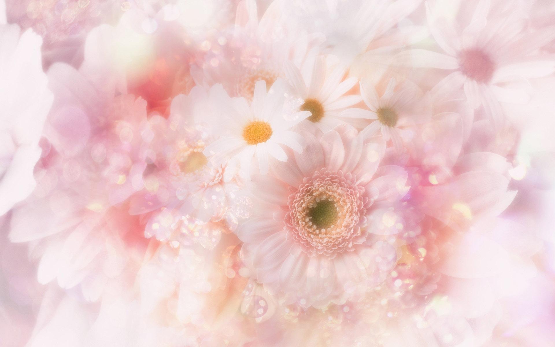 ромашки розовые белые chamomile pink white  № 1037928 загрузить