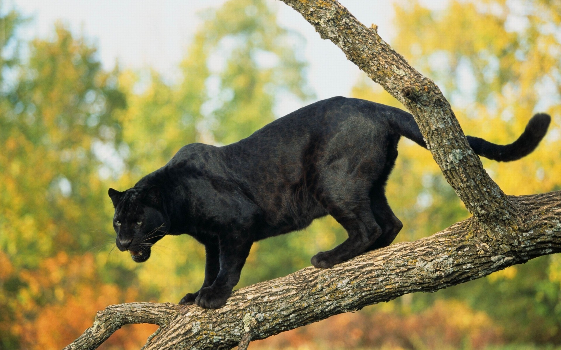 picture-of-a-black-panthers
