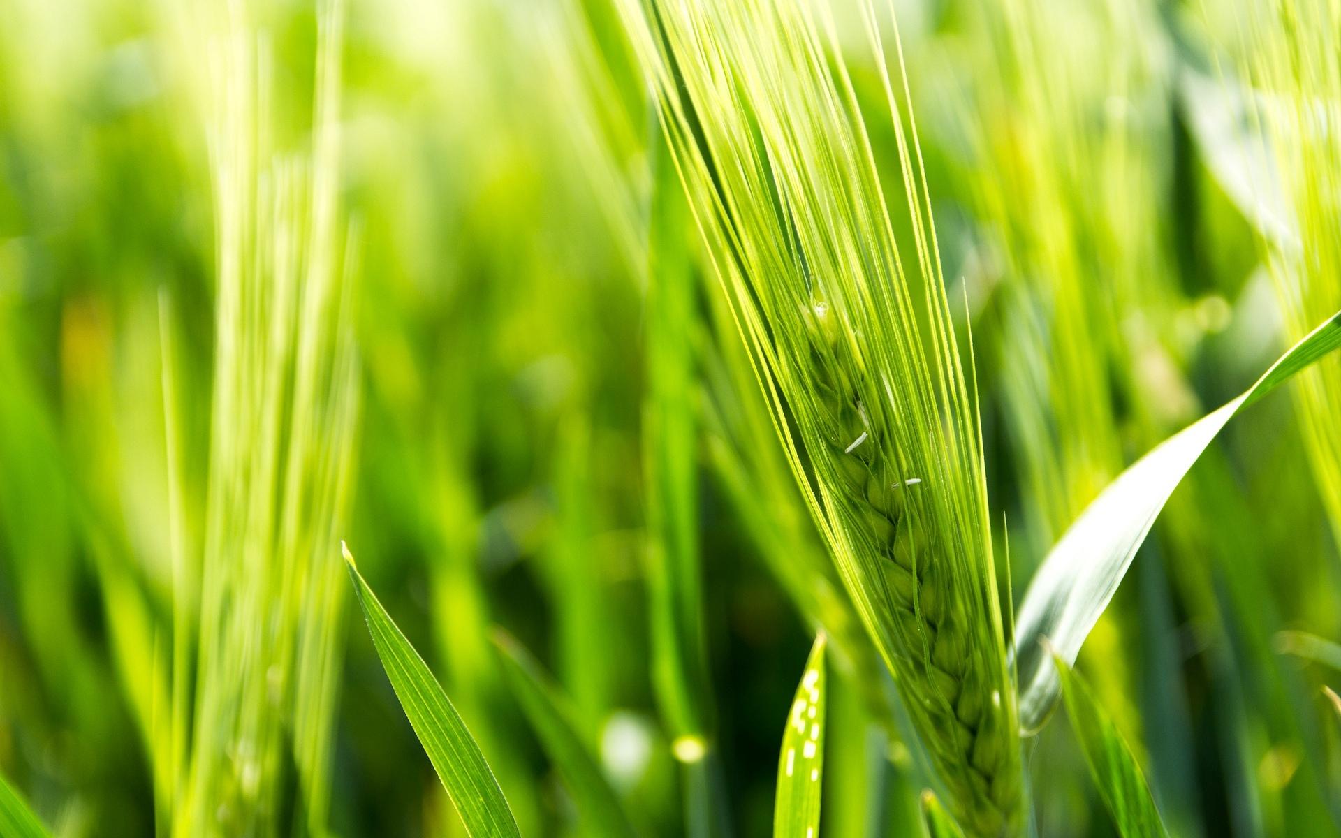 Зеленая пшеница  № 2559120  скачать