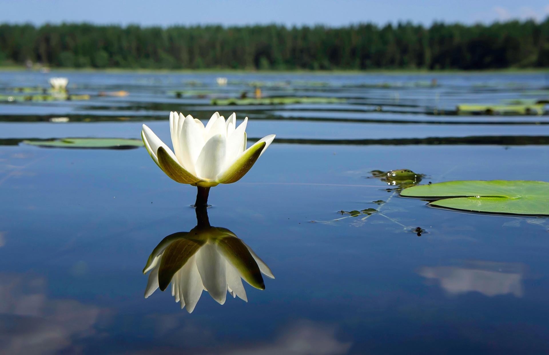 кувшинки озеро небо лес  № 1264593 бесплатно