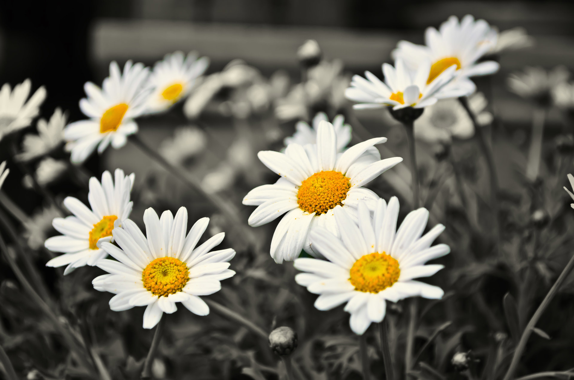 The Dress: Science Explains the Blue, Black, White and Black and white daisy photography