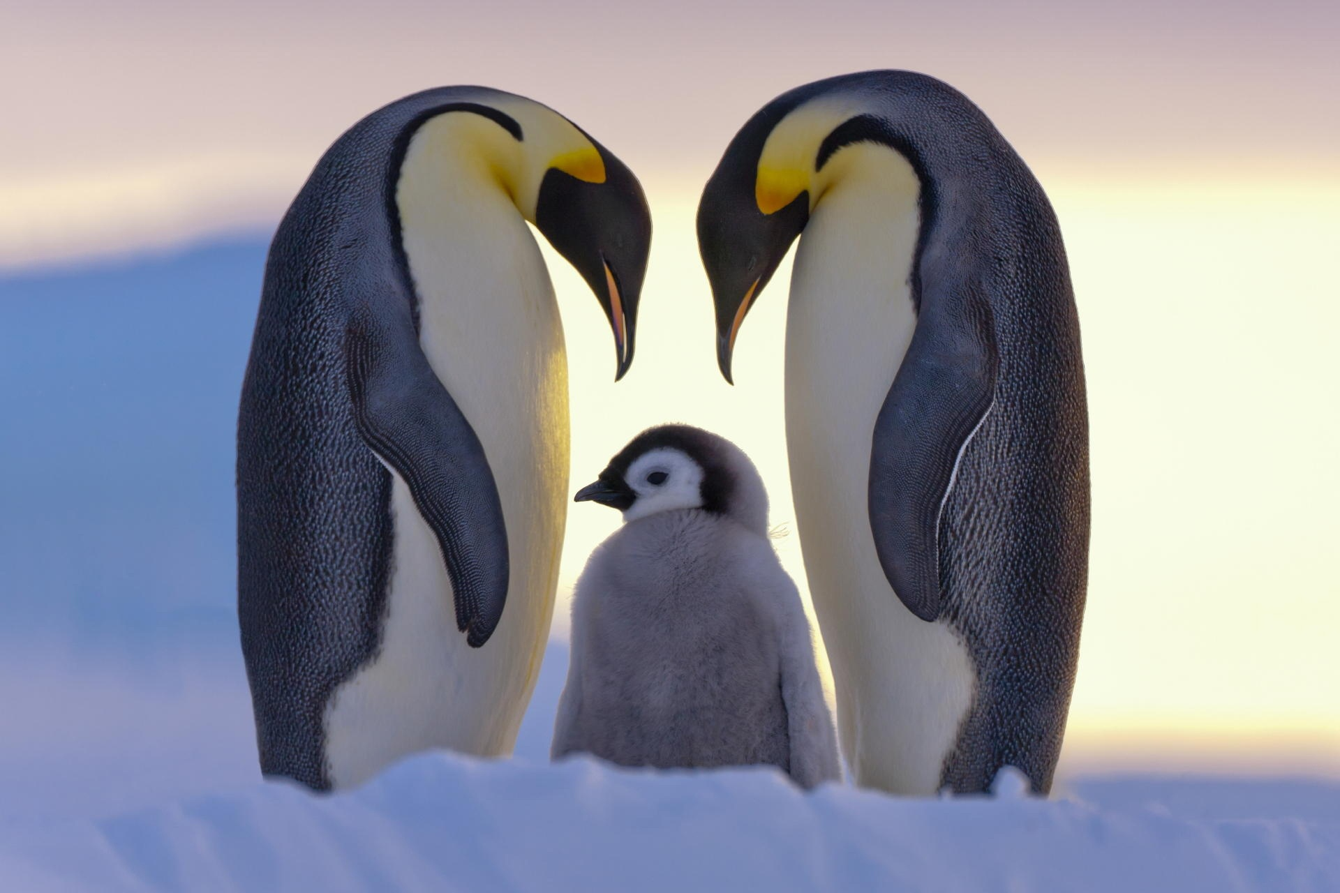 Large pictures of babes penguins, red light free porn