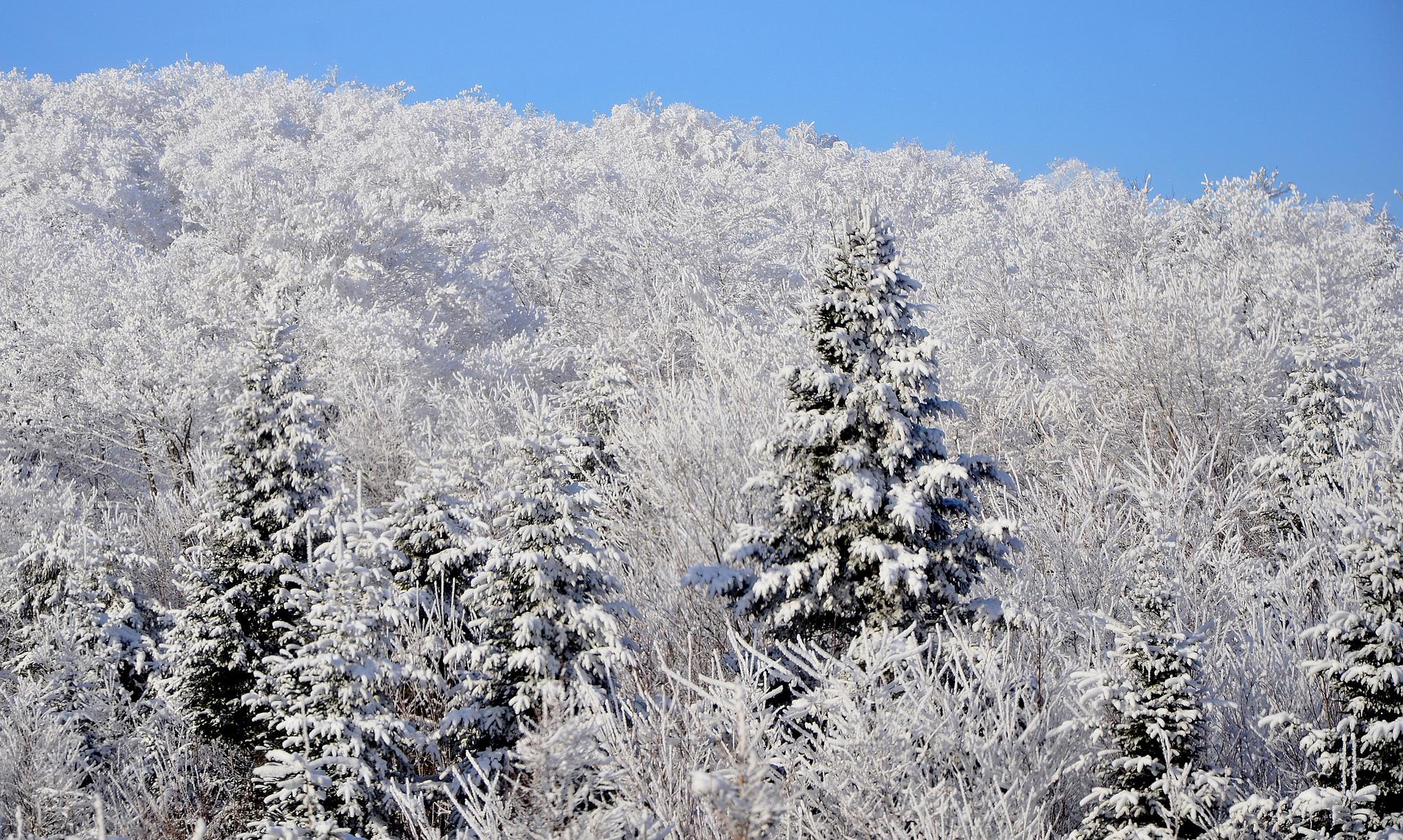 природа деревья ели зима снег небо  № 2803265  скачать