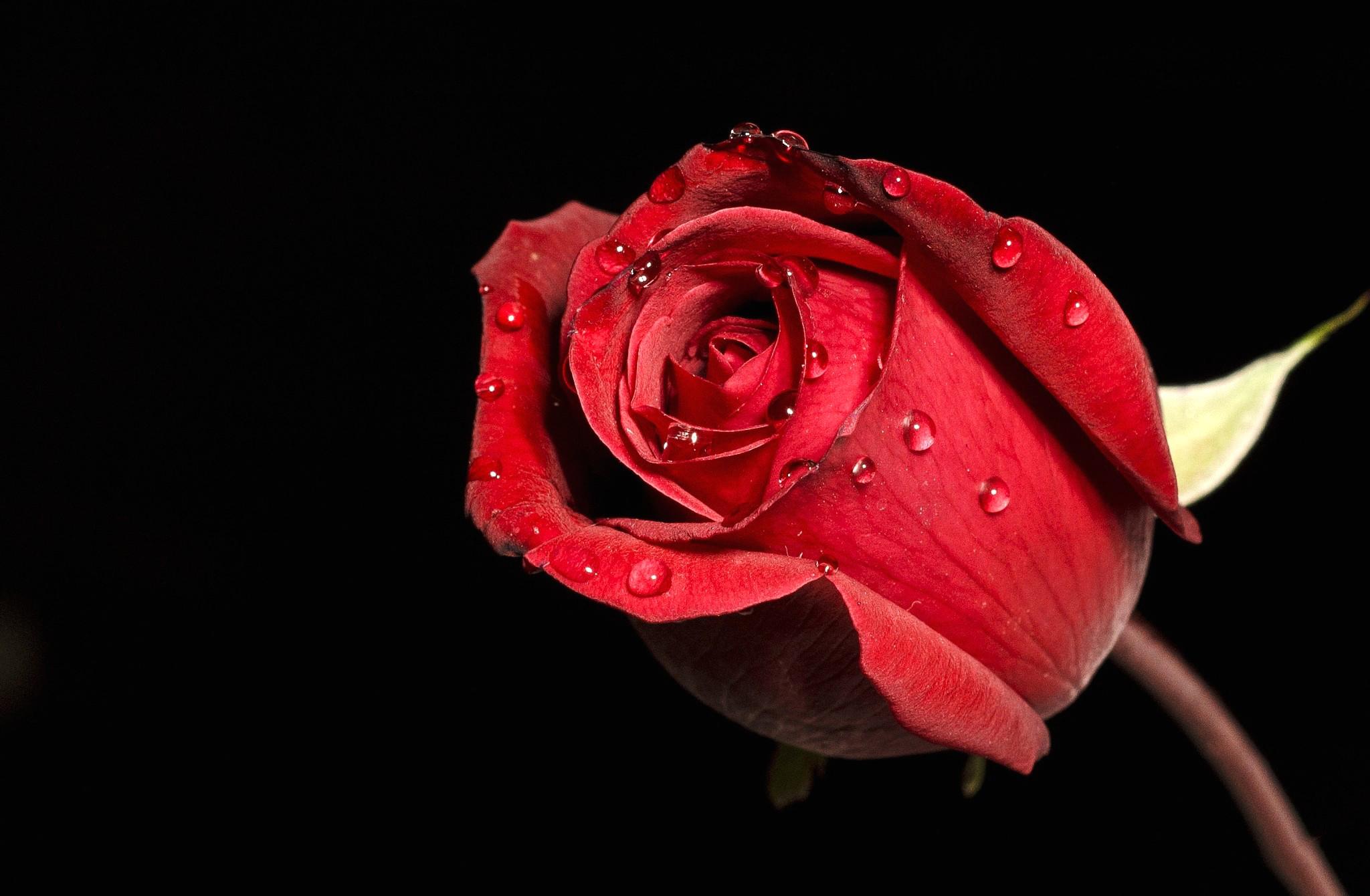 роза с каплями  № 3828913 бесплатно