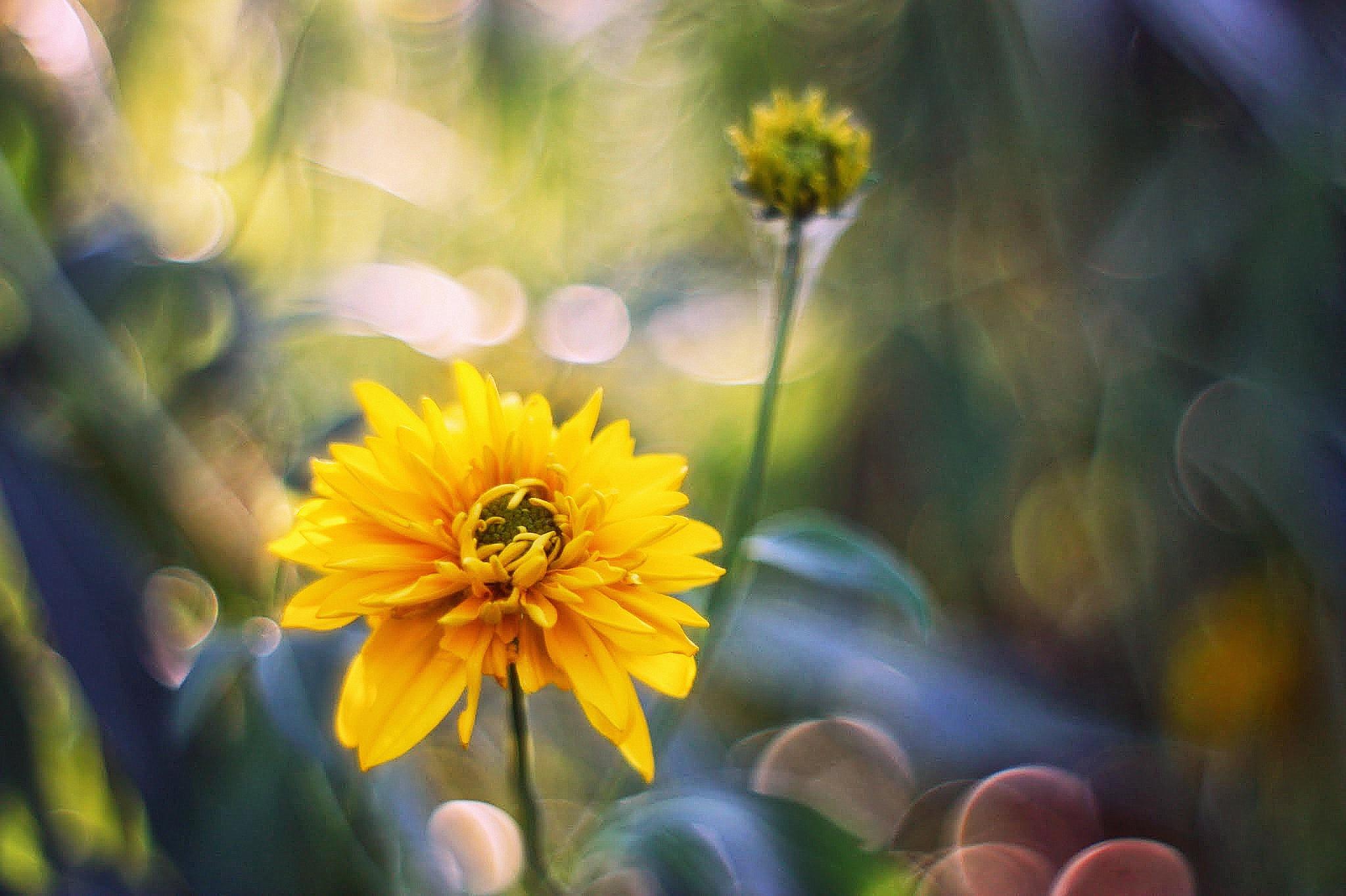 Желтые ромашки цветы желтые цветы размытость  № 3831067 бесплатно