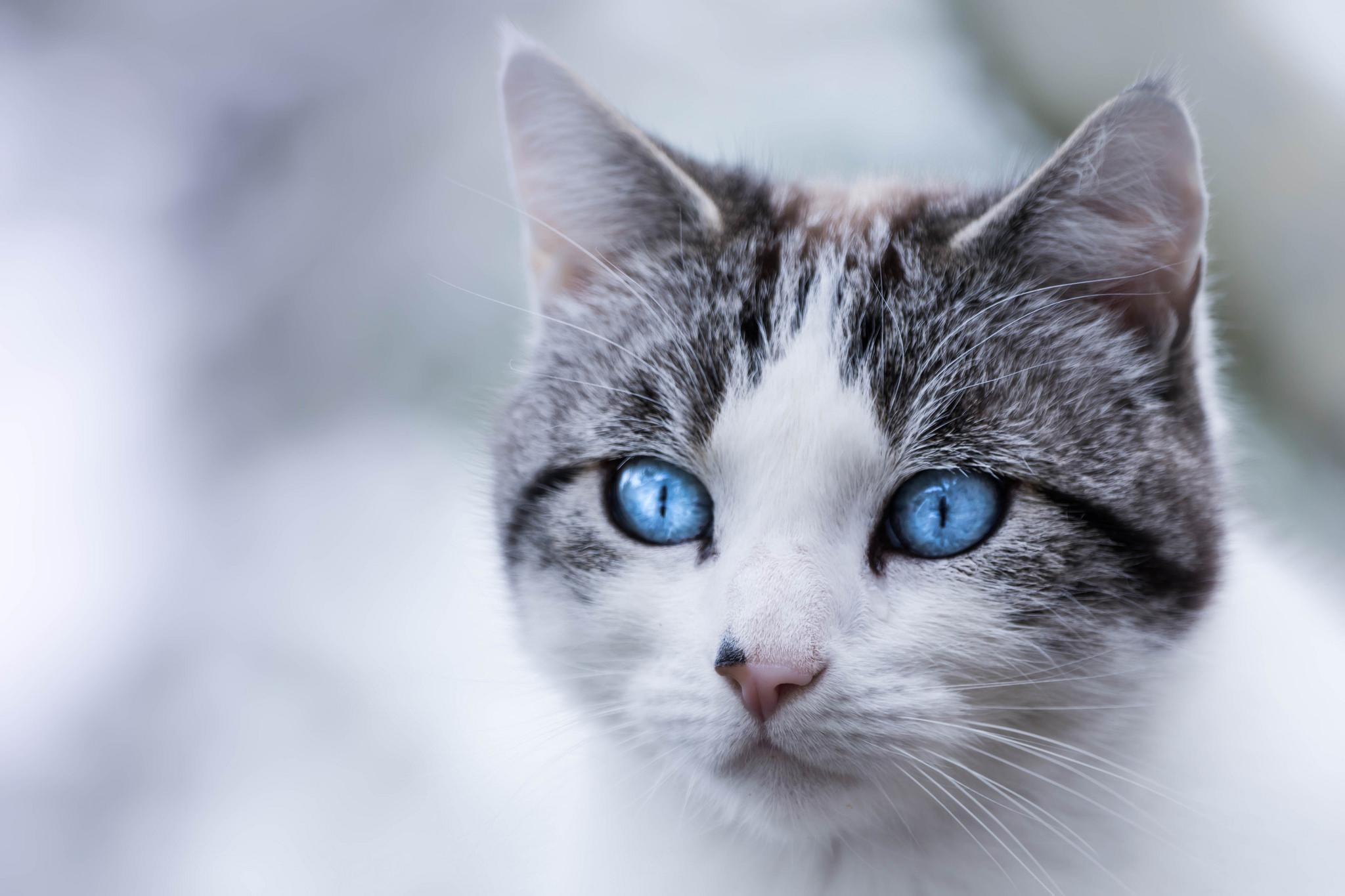 Голубоглазые кота  № 3010630 бесплатно