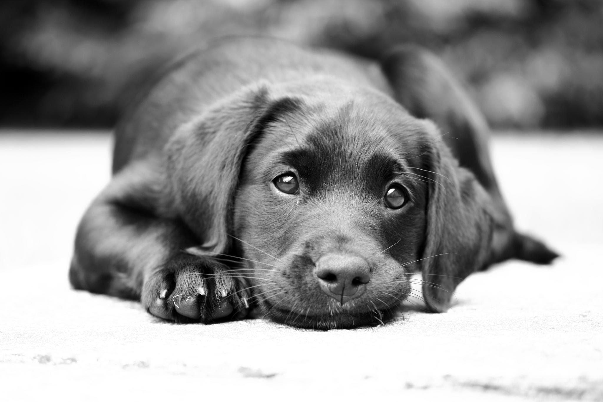 Пёс черный взгляд  № 1127470 бесплатно