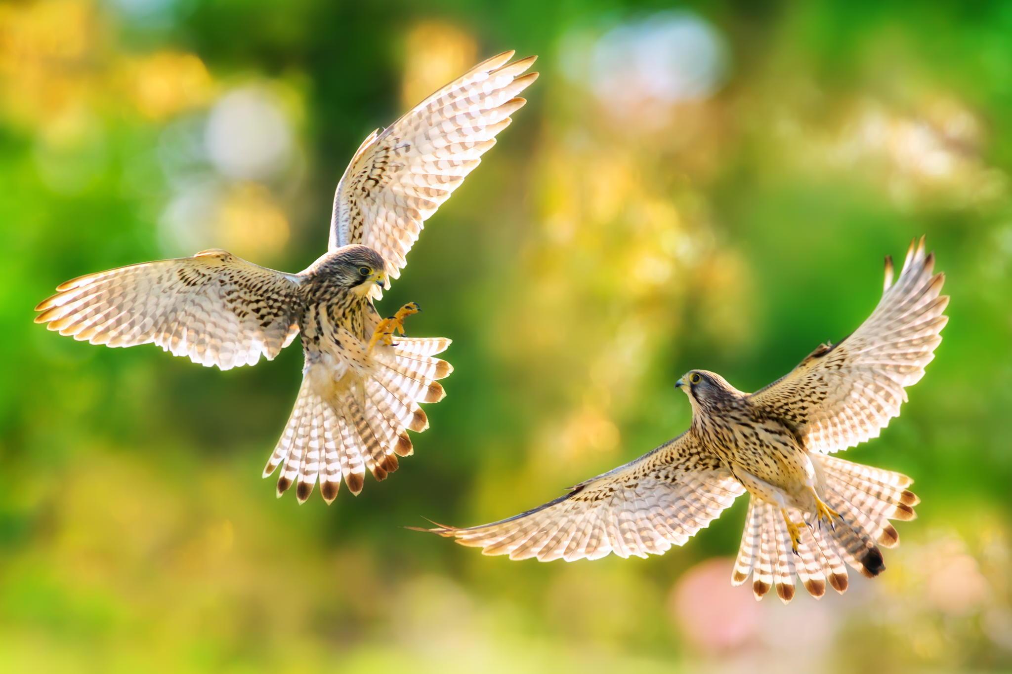 природа животные птица сокол nature animals bird Falcon  № 2993177 без смс