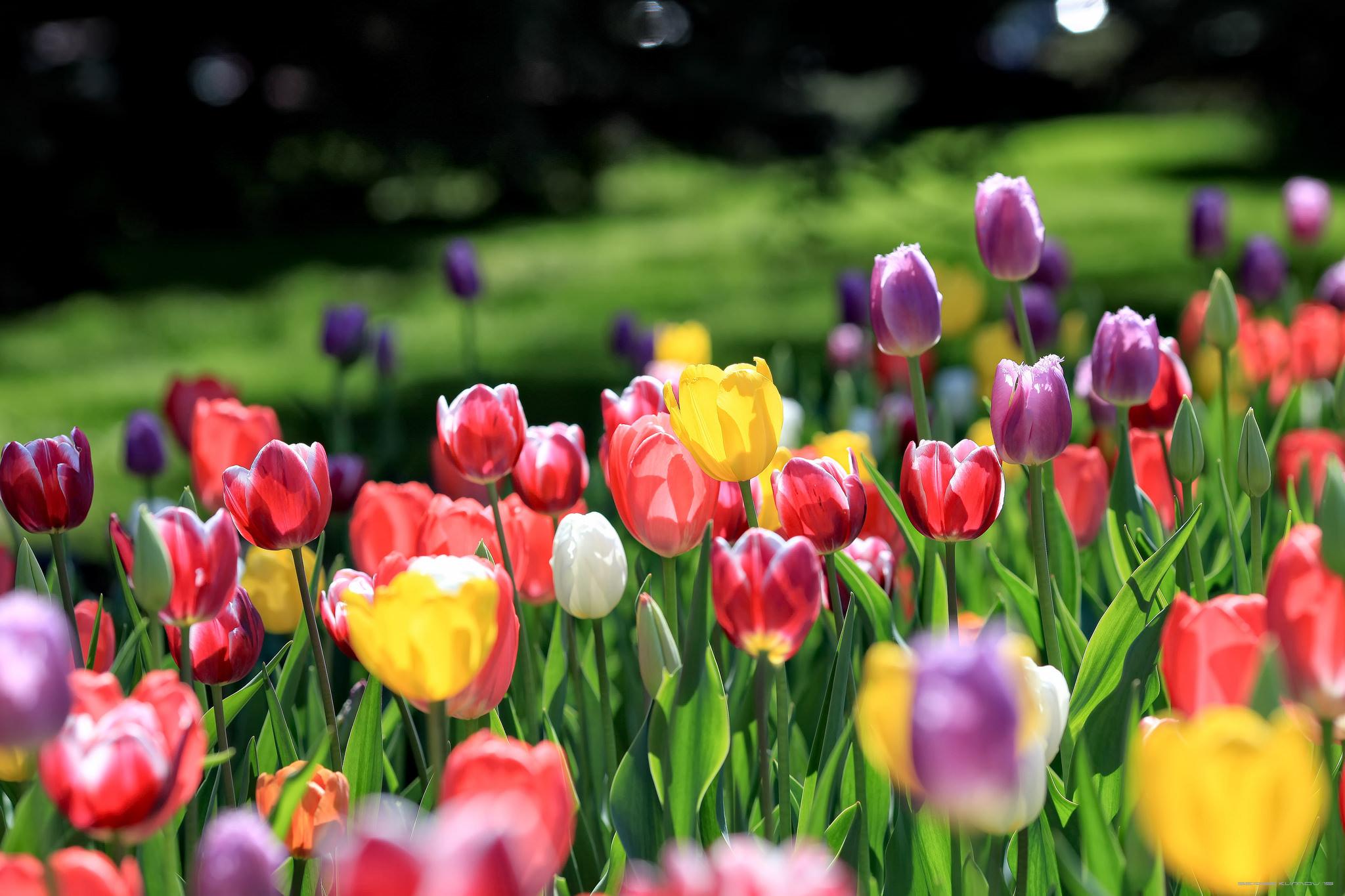 Фиолетовые тюльпаны в саду  № 1325931 загрузить
