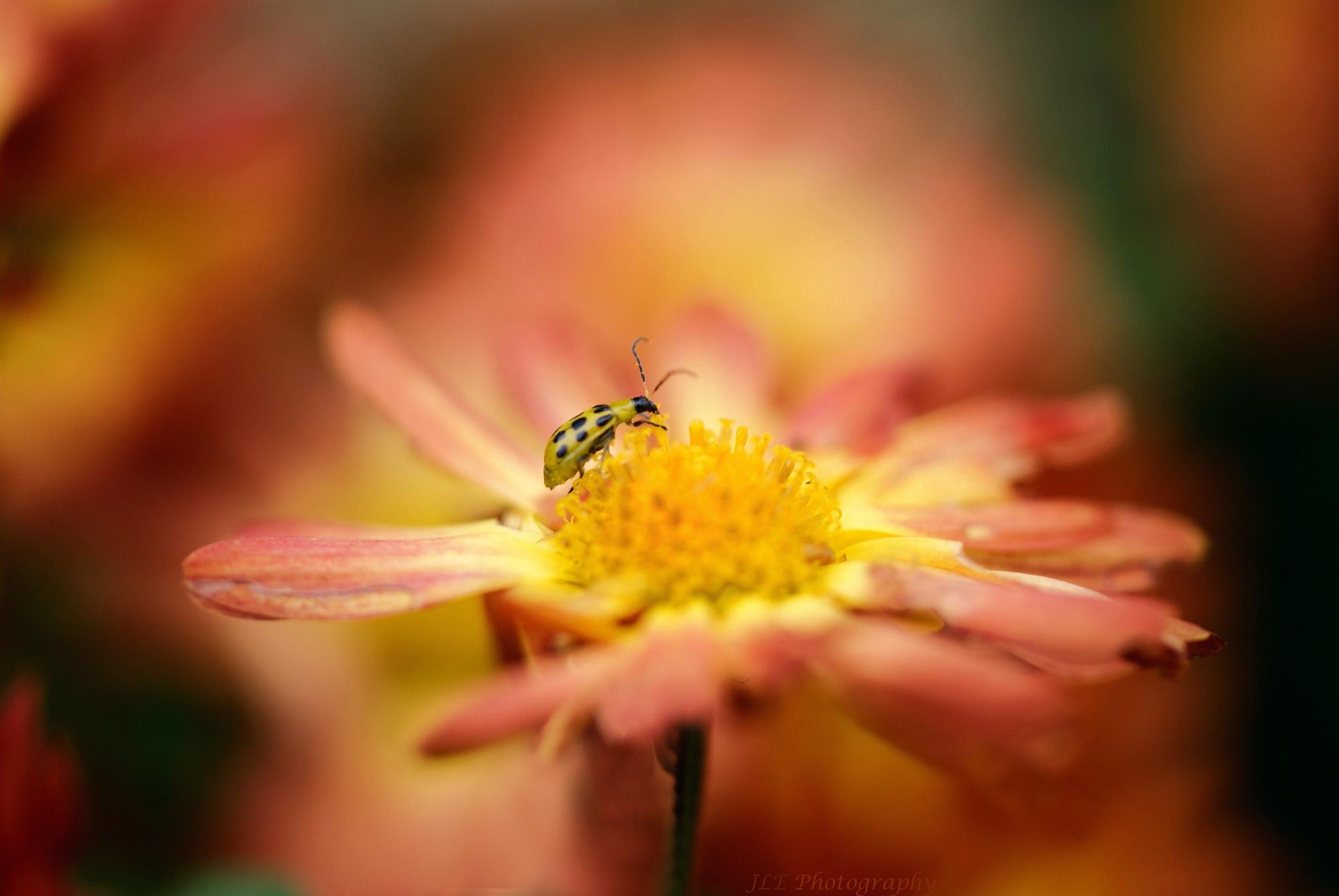 природа макро насекомое божья коровка цветы  № 3854288 без смс