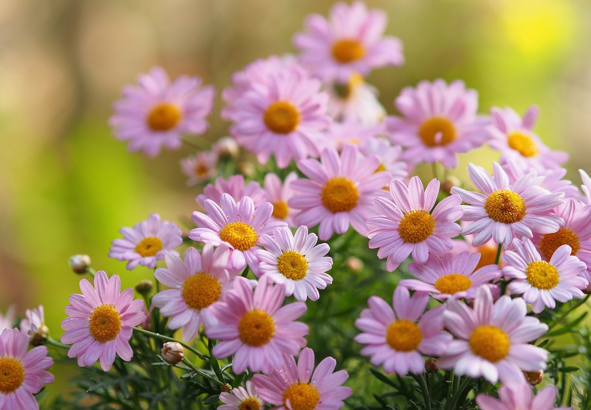 ромашки розовые белые chamomile pink white  № 1037988 без смс