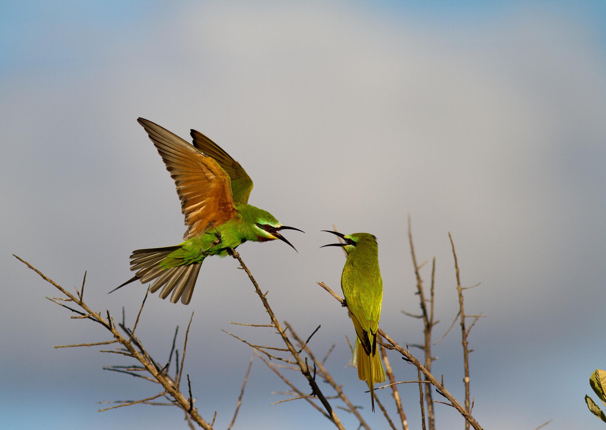птица ветка клюв крылья  № 1996101 загрузить