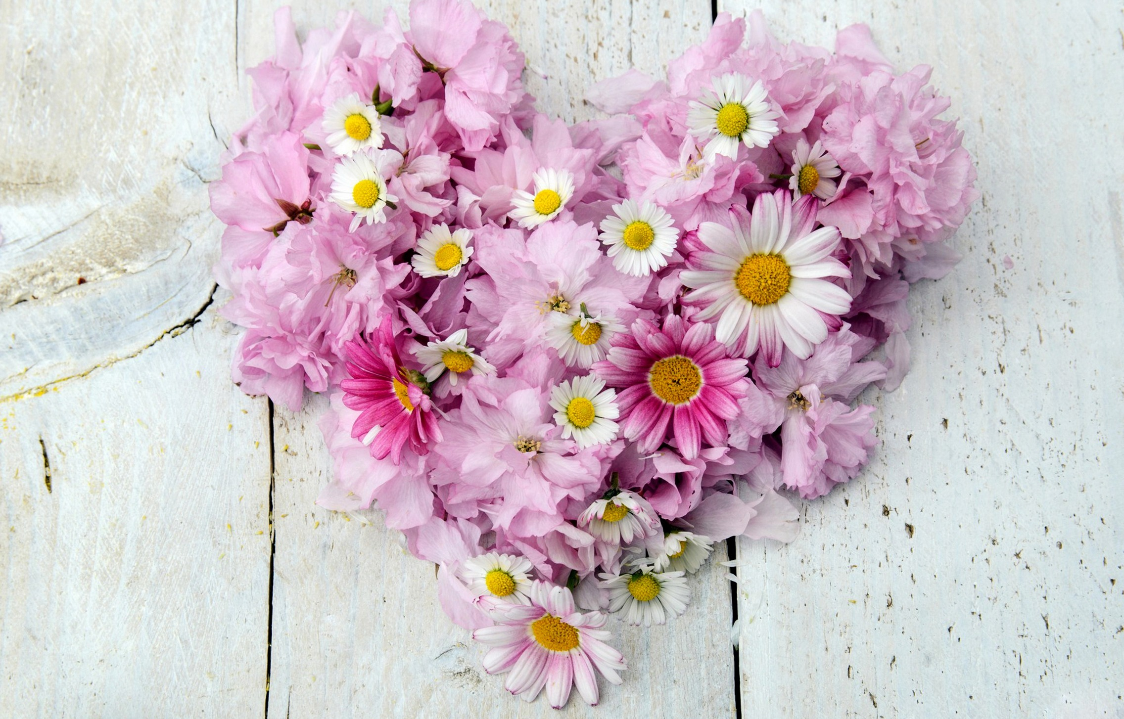 ромашки розовые белые chamomile pink white  № 1037944 без смс