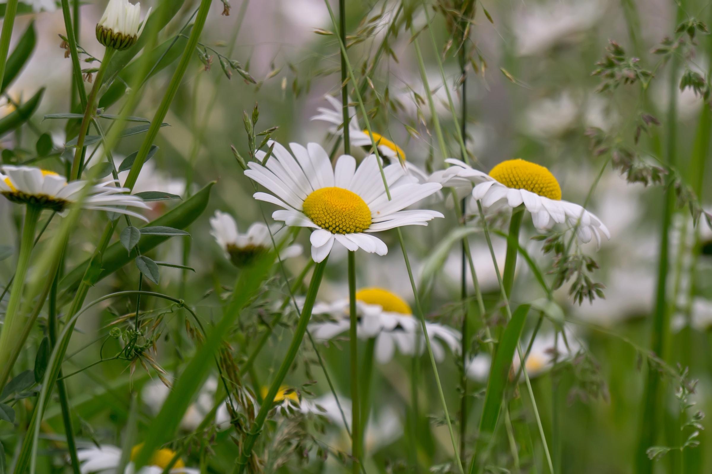 ромашки трава chamomile grass  № 3837809 бесплатно