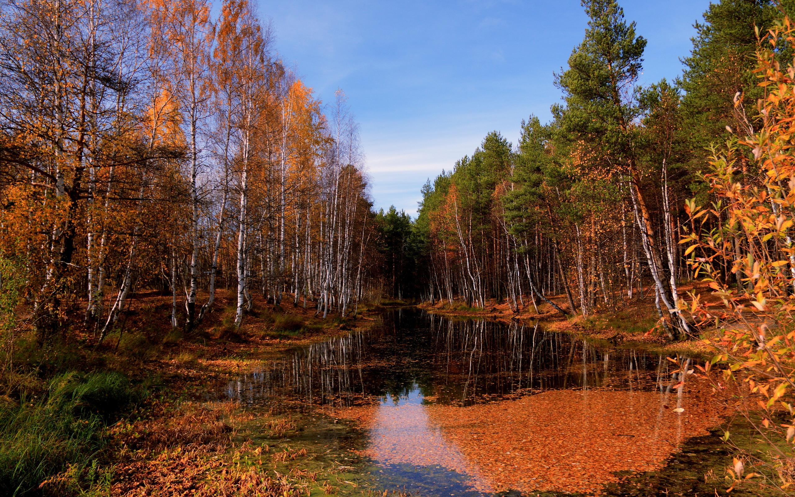 природа береза деревья вода озеро лес  № 2791951  скачать