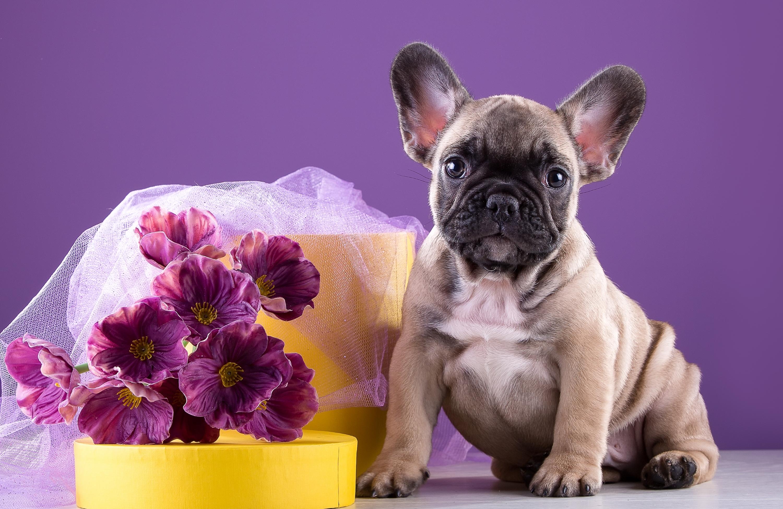 Собака животное французский бульдог  № 2228215 бесплатно