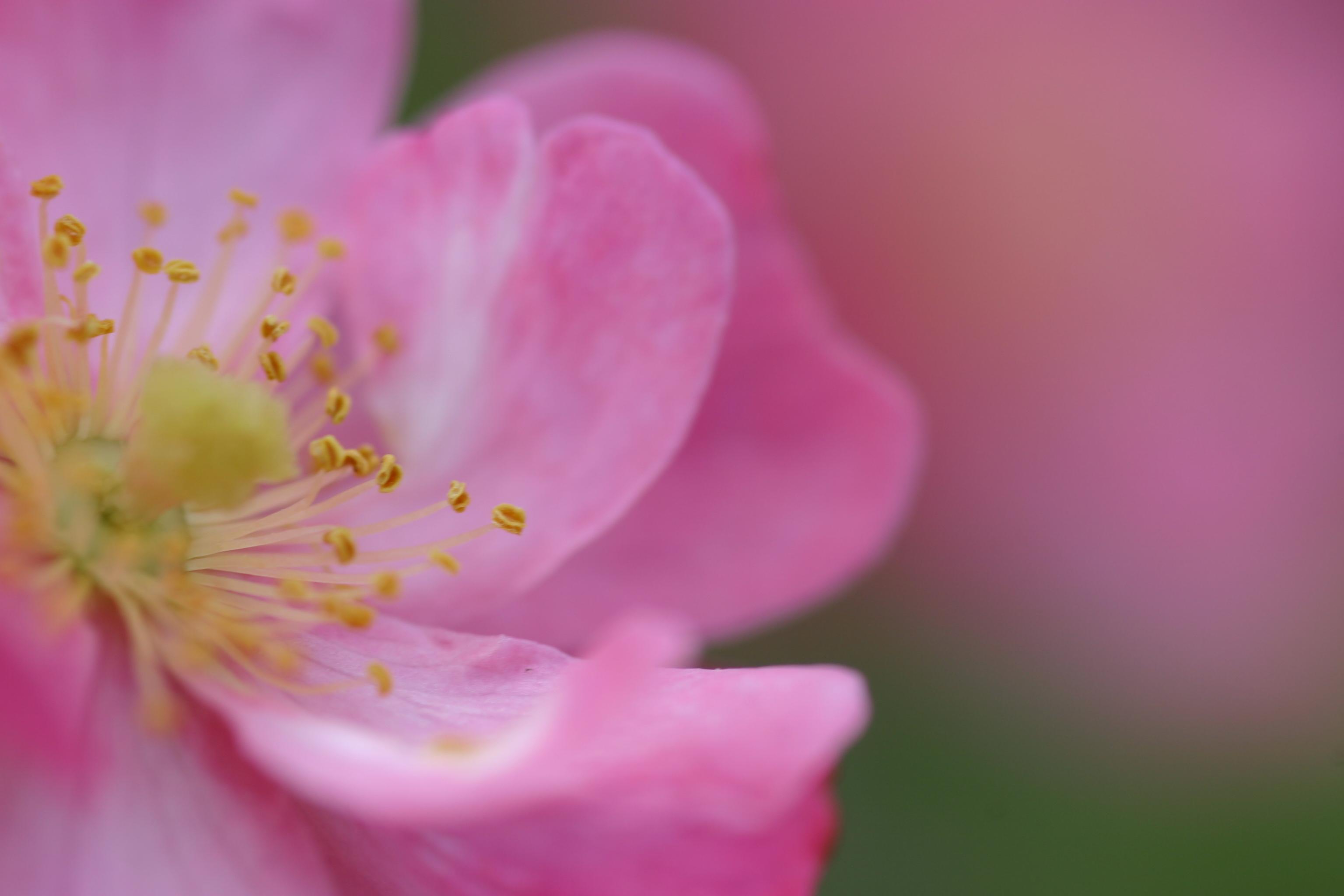 цветы макро розовые  № 1347169 без смс