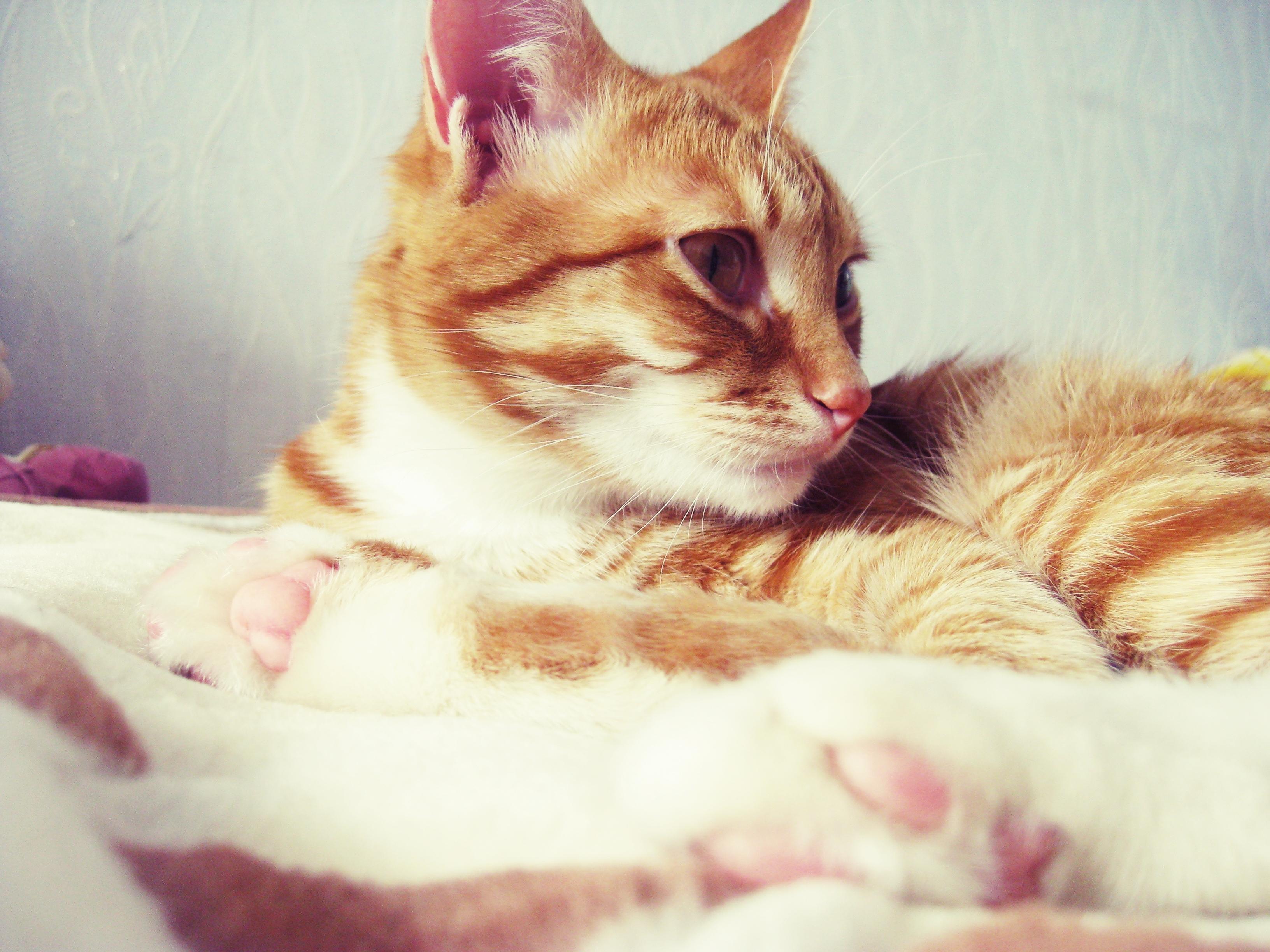 Лежащий кот  № 176241 без смс
