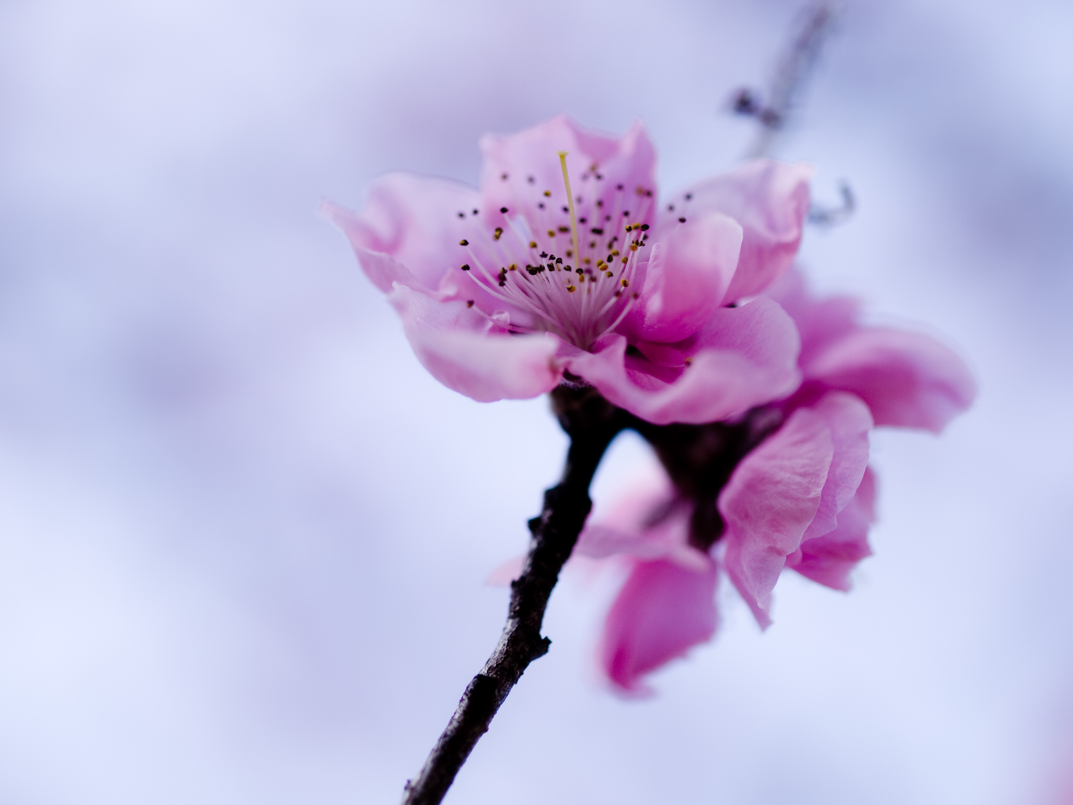 cherry blossom pictures - HD1920×1440