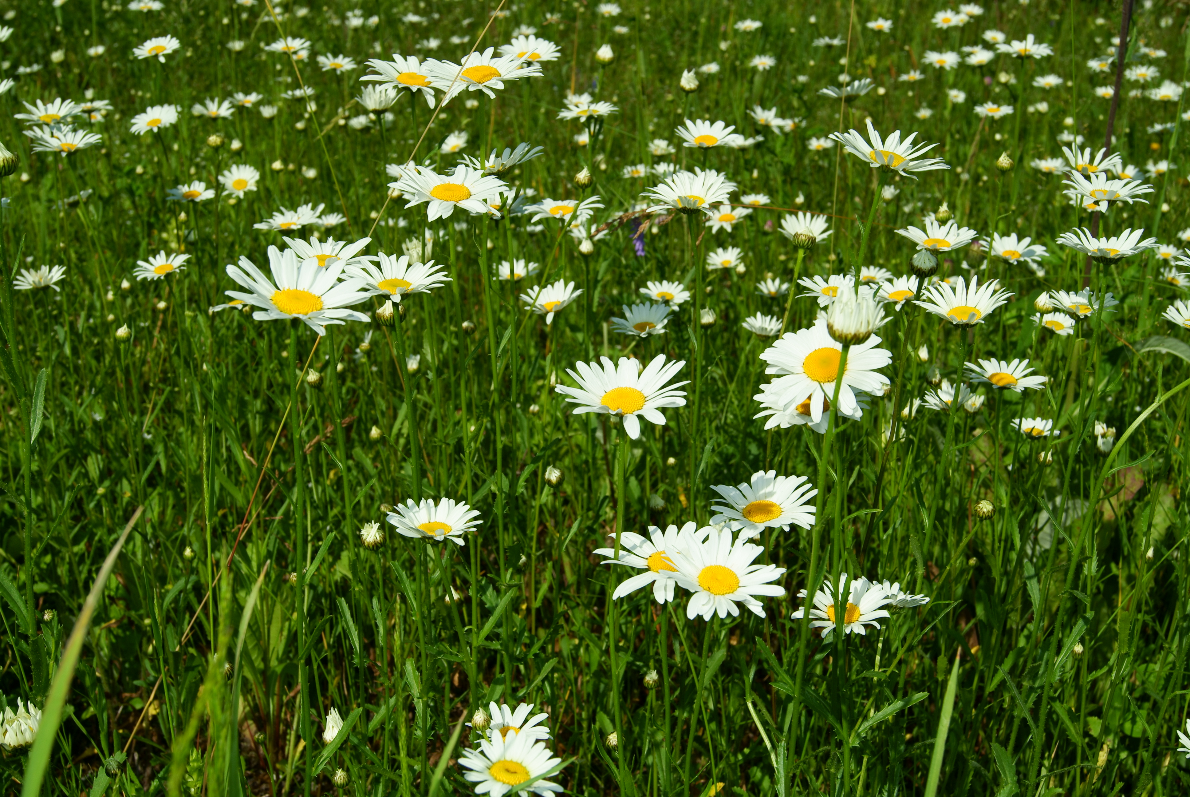 ромашки трава chamomile grass  № 3837825 загрузить