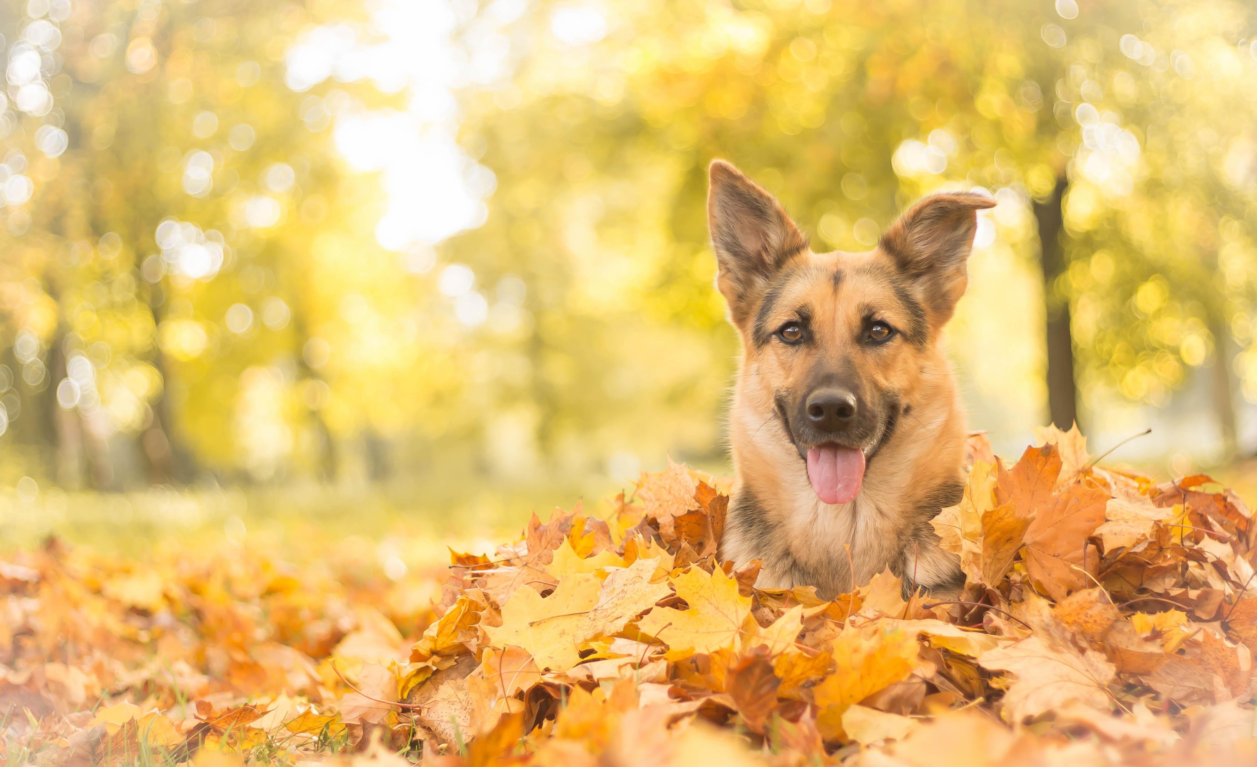 природа животные собака осень листья  № 2019495 без смс
