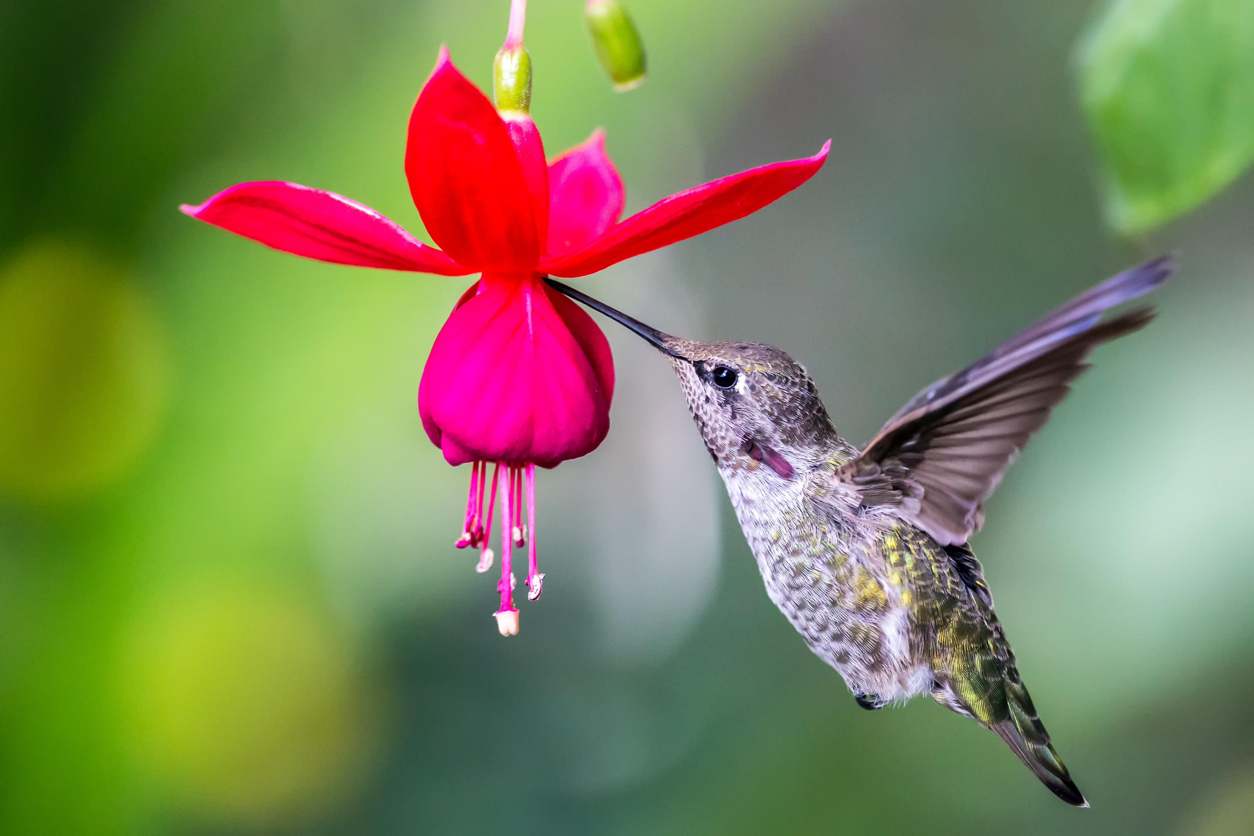 Калибри на цветке  № 2039307 без смс