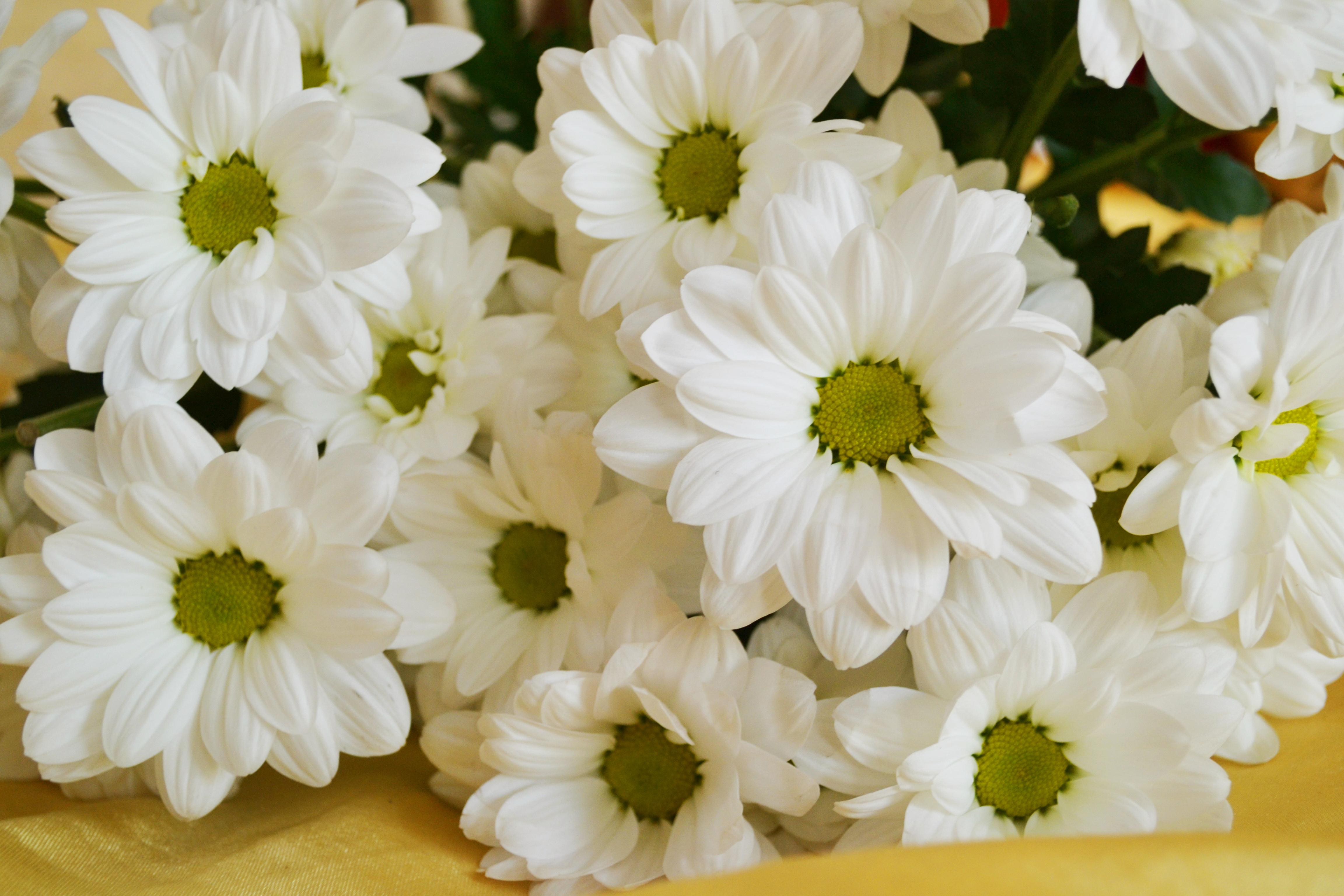 ромашка цветы фокус  № 1096455 загрузить