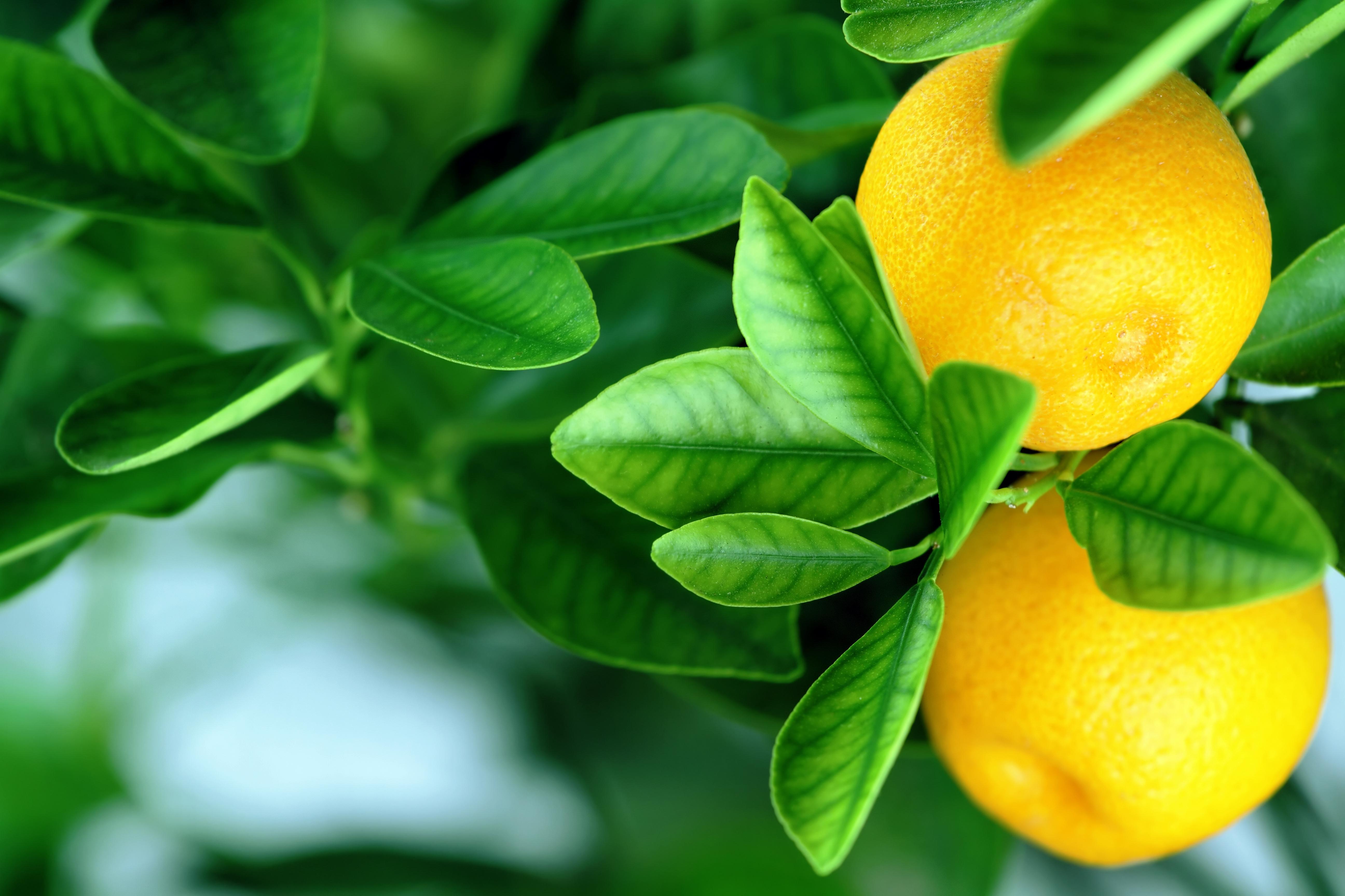 Обои для рабочего стола фрукты апельсин