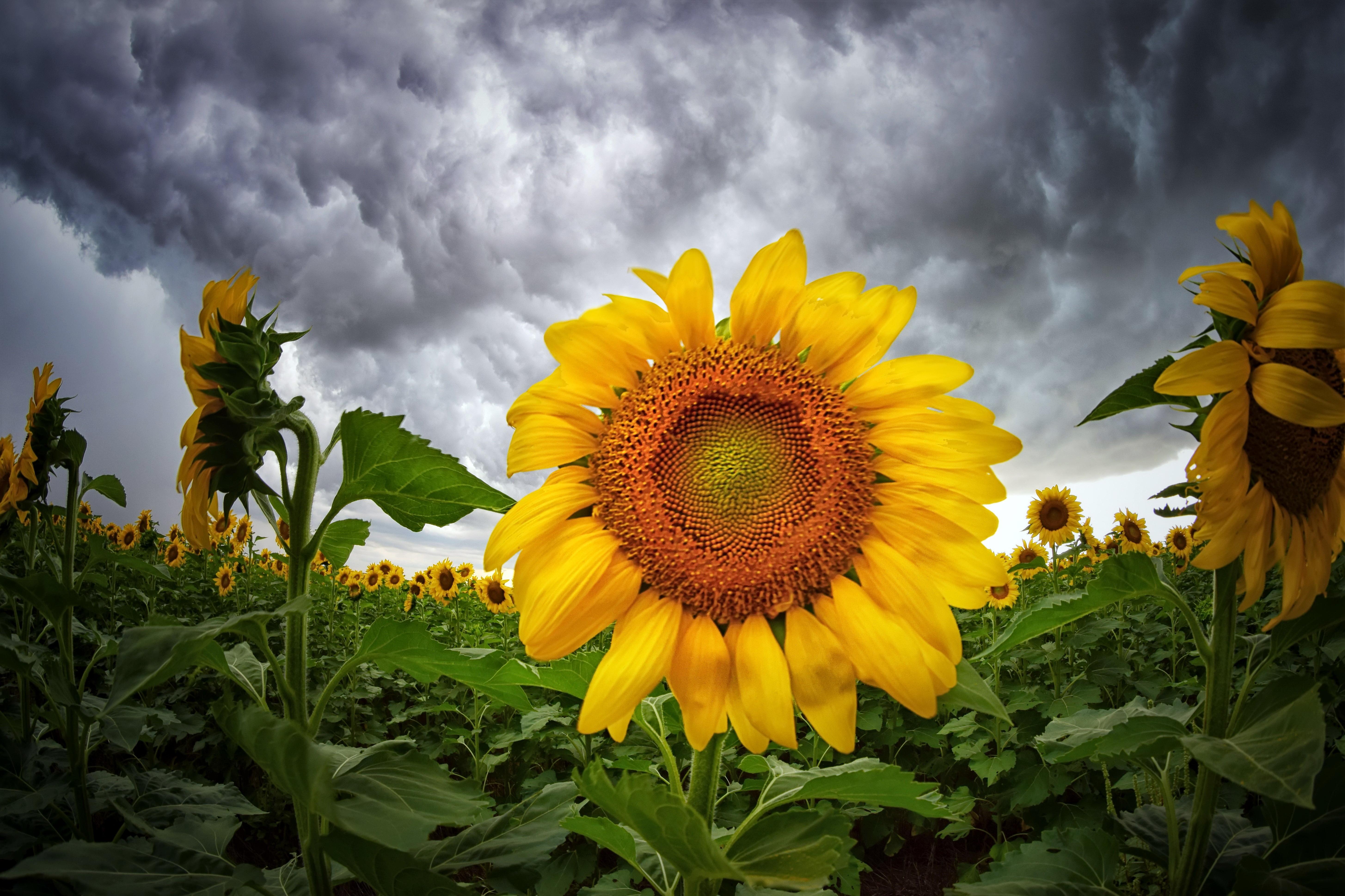 природа подсолнечник цветы nature sunflower flowers  № 2672086  скачать