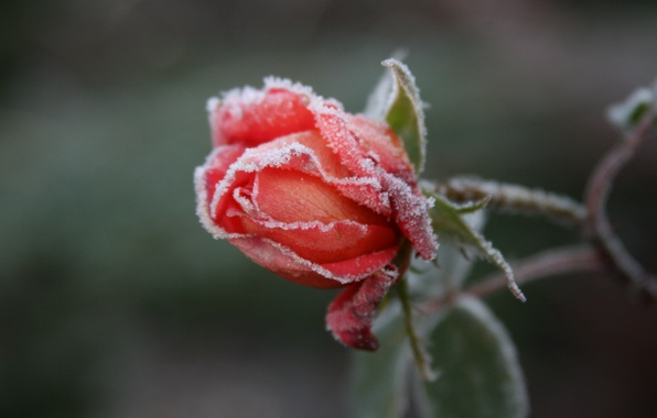 Picture cold, frost, flower, macro, flowers, background, Wallpaper, rose, roses, garden, frost