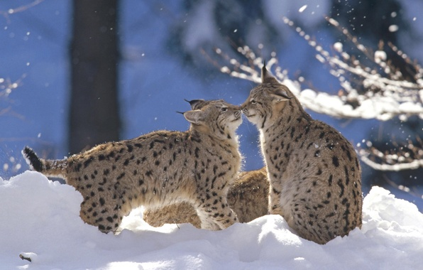 Picture winter, forest, snow, the game, lynx, cubs