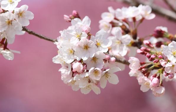 Picture macro, cherry, branch, spring, Sakura, flowering
