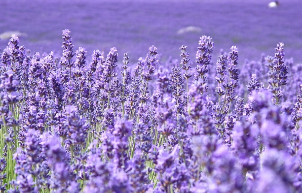 Picture field, flowers, background, widescreen, Wallpaper, field, blur, purple, wallpaper, flowers, widescreen, background, lavender, full screen, …