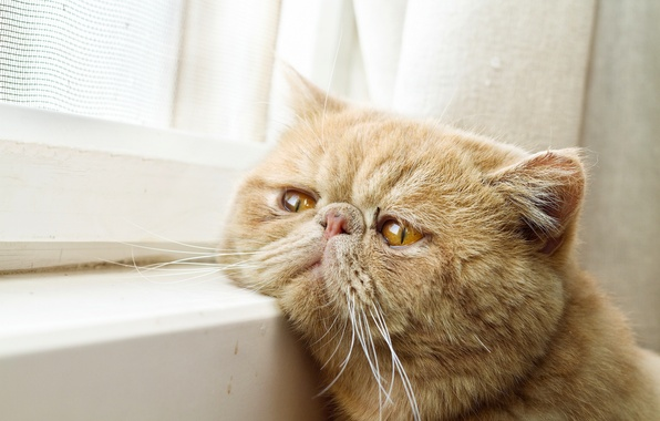 Picture cat, window, waiting, face, Kote, red cat, exotic, Exotic Shorthair, kotofeich