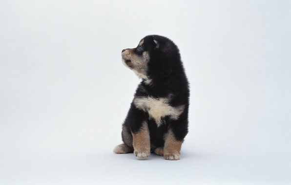 Picture animals, black and white, spot, puppy, white background, dog