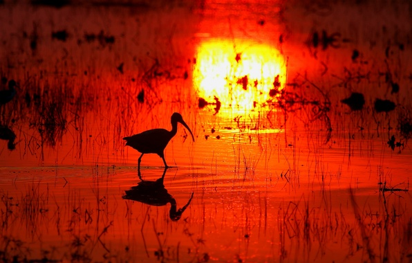 Picture water, sunset, reflection, bird, swamp, beak, silhouette