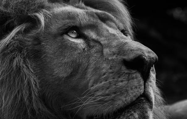 Picture eyes, look, predator, Leo
