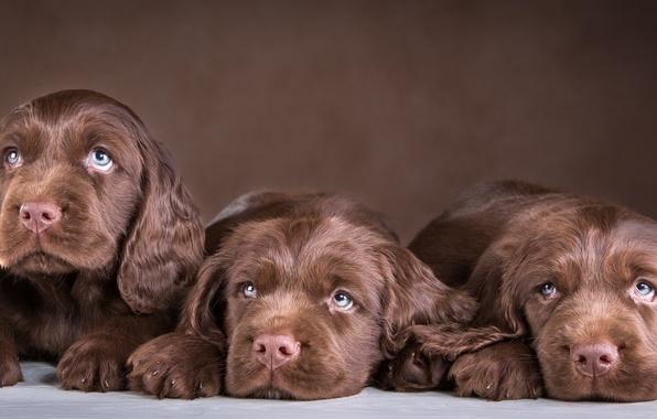 Picture puppies, trio, chocolate, Spaniel