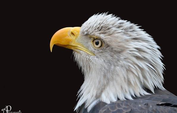 Falcon Tag wallpapers: Animals Falcon Bird Images Birds Cartoon ...