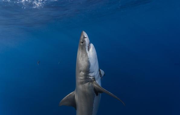 Picture surface, predator, shark, ambush, vertical, predator, shark, sunlight, white shark, sunlight, ambush, surface, white shark, …