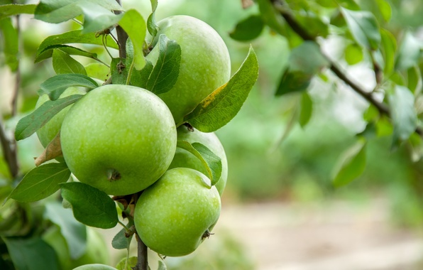 Picture leaves, tree, apples, branch, leaves, tree, apples, branch, maturation