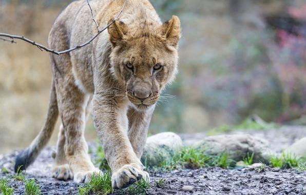 Picture face, predator, Leo, walk, wild cat, young
