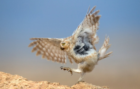 Picture owl, bird, predator, hunting, the dance around the snake