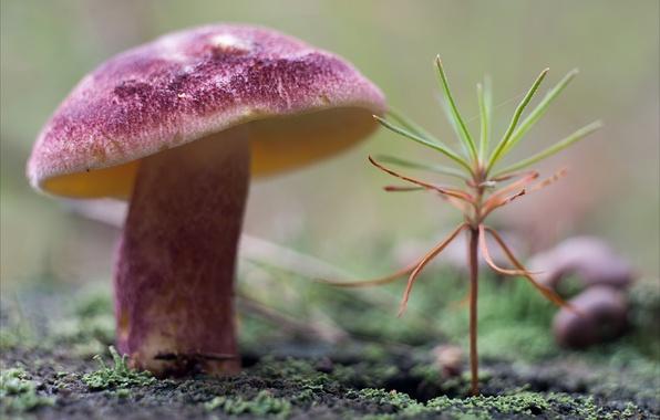 Picture nature, mushroom, plant, moss