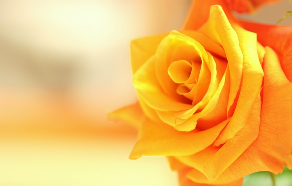Picture macro, rose, Bud, yellow rose
