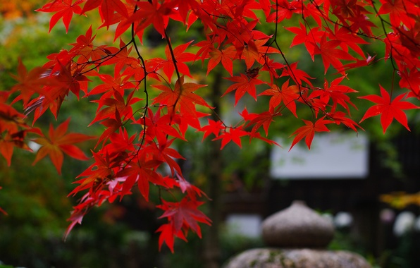 Picture branches, nature, foliage, Japan, garden, maple, red
