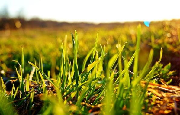Picture field, the sky, the sun, macro, green, Grass, bokeh