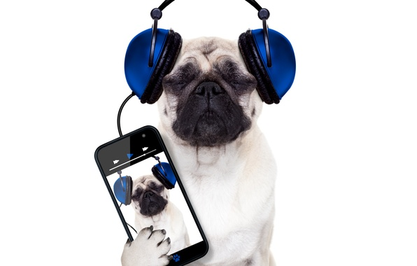 Picture dog, humor, headphones, white background, phone, smartphone, Pug